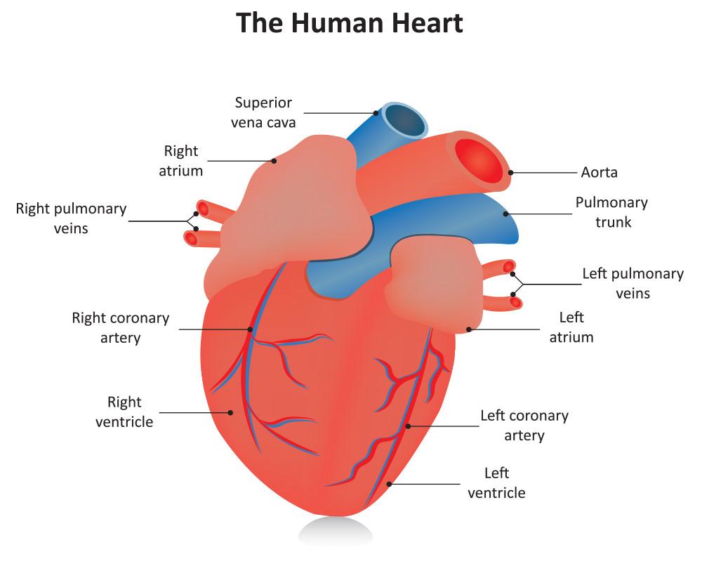 Adult Cardiovascular Consultation Setx Cardiology Associates